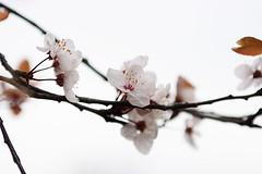 Blossom (Marianne | mnoo) Tags: photoblog mnoo mariannetaylor httpmnoocomblog httpmnoocom