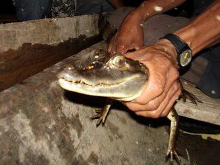 Excursión nocturna para contemplar caimanes