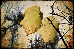 DIVINE (jumpinjimmyjava) Tags: fall texture nature leaves yellow vines grunge vine grape fineartphotos canontxi jlbrown