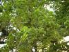 竹山鎮中和里救人老茄苳樹DSCN6047