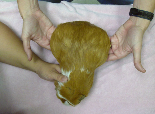 Very Pregnant Guinea Pig. On April 1, 2008, we took the Guinea Pigs that we ...