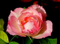 Rosa (Pedro Cavalcante) Tags: flowers naturaleza flores flower nature fleur flora fuji natureza natur flor natuur natura finepix fujifilm blomma bunga 花 blume fiore blomst bulaklak hoa ua flore bloem lill פרח çiçek زهرة kwiat blodyn گل lule blom цвет cvijet λουλούδι cvet ดอกไม้ 6500 кветка gėlė květina kvetina цвете s6500 puķe फूल s6500fd floarea בלום abigfave fjura квітка bláthanna finepixs6500 finepix6500 pedrocavalcante kukkien virága
