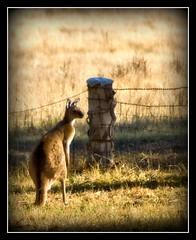Solitude (Kerri Afford) Tags: animals rural farm sony australia kangaroo southaustralia kangaroos sonya100 sonyalpha challengeyouwinner wildlifeofaustralia bestofaustralia photofaceoffwinner acg1stplacewinner sonysonyalpha bestofaustraliaaustralia
