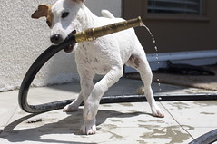 MJ loves to water the grass (Richard Unten) Tags: water puppy jack jrt russell mj terrier
