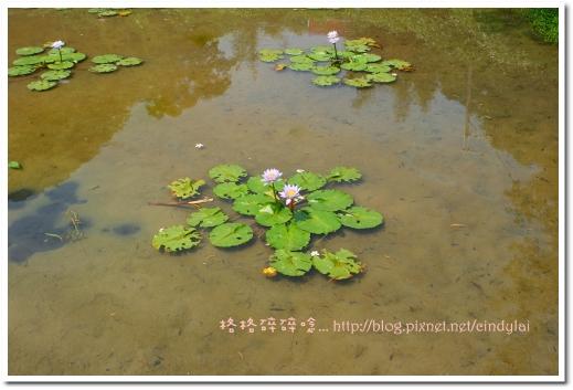 20080503桐花_045