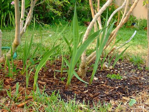 garden 5-21-08 006