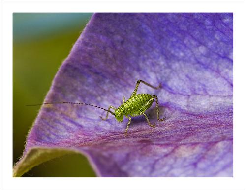 Speckled Bush Cricket juvenile Leptophyes punctatissima Kenley Surrey