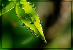 Backdrops (Polimom) Tags: green water leaf drops bokeh backlit waterdrops soe backlighting yellowgreen remoteflash supershot challengeyouwinner diamondclassphotographer