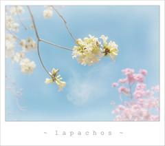 (. M a r t @ . ) Tags: primavera nature argentina spring flor rosario haveaniceday mbm lapacho abigfave lapachos platinumphoto superaplus infinestyle blancoyrosa mbm55 inature  caminandoporelparqueurquiza