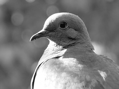 Credo - Mario Benedetti (Oveja Utopie) Tags: benedetti poesia poema frases ave tortola birds bird animal natural bw blackandwhite