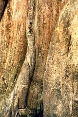 Northern Catalpa (Catalpa speciosa), Bark [6] (In The Mind Of Nature (Plantae)) Tags: catalpaspeciosa northerncatalpa hardycatalpa westerncatalpa cigartree catawbatree plant tree deciduoustree minneapolisminnesota minnesota midwesternunitedstatesnativetreespecies midwesternunitedstatesnativeplantspecies northamericannativeplantspecies northamericannativetree inthemindofnature nature permaculture arboriculture catalpabark bark hardwood ornamentaltree