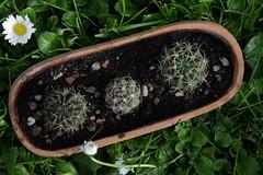 Mieszanka (siwa) Tags: cactus cacti suculent kaktus kaktusy sukulent