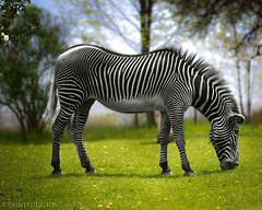 Finding It Hard To Blend In (Painted Light) Tags: blackandwhite green grass pattern stripes gardenofeden zebra selectivecolor eos5d paintedlight flickrsbest abigfave graduatedneutraldensity anawesomeshot azebracantchangeitsstripes cantblendin