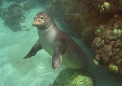 monk seal (bluewavechris) Tags: ocean life sea nature water animal coral swim mammal hawaii sand marine underwater snorkel wildlife dive monk maui seal endangered reef creature pinniped monkseal