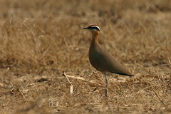 Cursorius coromandelicus-Indian Courser (Aviantic) Tags: indian courser