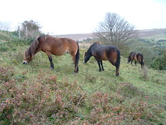 Exmoor Ponys (classic vehicles) Tags: four eyes legs head tail main cliffs pony ponies ponytail dover ponys exmoor hooves