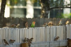 Lovebird and sparrows (Heather Leah Kennedy) Tags: bird birds animal animals austin texas parrot parakeet lovebird sparrows feral