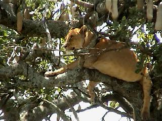 serengeti - lionne - arbre
