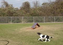 DSC01502.JPG (Web_Anna) Tags: park family nature grass sisters outside puppies birddog cutedogs blackandwhitedog dogwrestling englishspringerspaniel fortwoof dogsmile huntingdogs americanfoxhound brownandwhitedog playingingrass