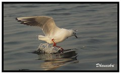 Sea Gull-1 (abhishree81) Tags: wild seagulls nature beauty birds wildlife waterbirds birdsofindia indianbirds