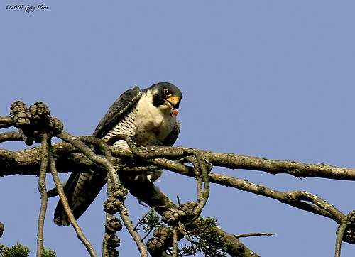 Peregrine Falcon having lunch