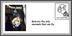 Hey! Looking at me? (netbobz) Tags: animals upsidedown mammals bats torpor hibernation batroost flyingmammals hangingbats batshangingupsidedown hangingmammals hibernatingbats hibernatingmammals