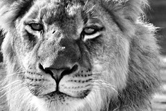 You talkin' to me? (seeit_snapit) Tags: portrait blackandwhite bw cat zoo waco lion bigcat blueribbonwinner youtalkintome cameronparkzoo mywinners diamondclassphotographer flickrdiamond ysplix fiveflickrfavs top20gray anothermanualshotwhoohoo photobydeedee