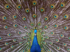 Blue Peacock (Dragan*) Tags: park blue color colour macro male green bird eye nature beautiful animal zoo fan colorful display wildlife tail serbia beak feather peacock spot getty belgrade beograd peafowl srbija indianpeafowl pavocristatus paun dragantodorovic singidunum  indianbluepeacock