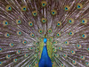 Blue Peacock (Dragan*) Tags: park blue color colour macro male green bird eye nature beautiful animal zoo fan colorful display wildlife tail serbia beak feather peacock spot getty belgrade beograd peafowl srbija indianpeafowl pavocristatus paun dragantodorovic singidunum београд indianbluepeacock