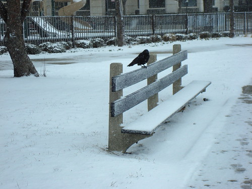 Black bird and white snow