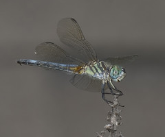 On Grey (mveaches) Tags: dragonfly soe naturesfinest superbmasterpiece