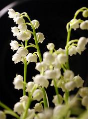 Lilly Of The Valley (*janina*) Tags: plant flower flora pentax lilly february 2008 lillyofthevalley rostlina unor kytka kvetina k100d konvalinka