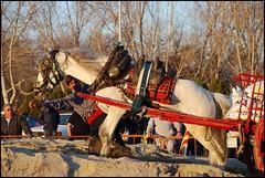 EN PLENO ESFUERZO (ABUELA PINOCHO ) Tags: espaa caballo movimiento deporte soe comunidad valenciana hombre castellon tiro esfuerzo carreta arrastre galope burriana mywinners ltytr1 adorablecritters enelmomentoexacto horsesrule allkindsofbeauty