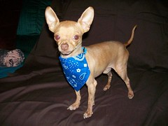ME DICEN EL BLUE BOY (Zulivan) Tags: family blue chihuahua dogs small more connan