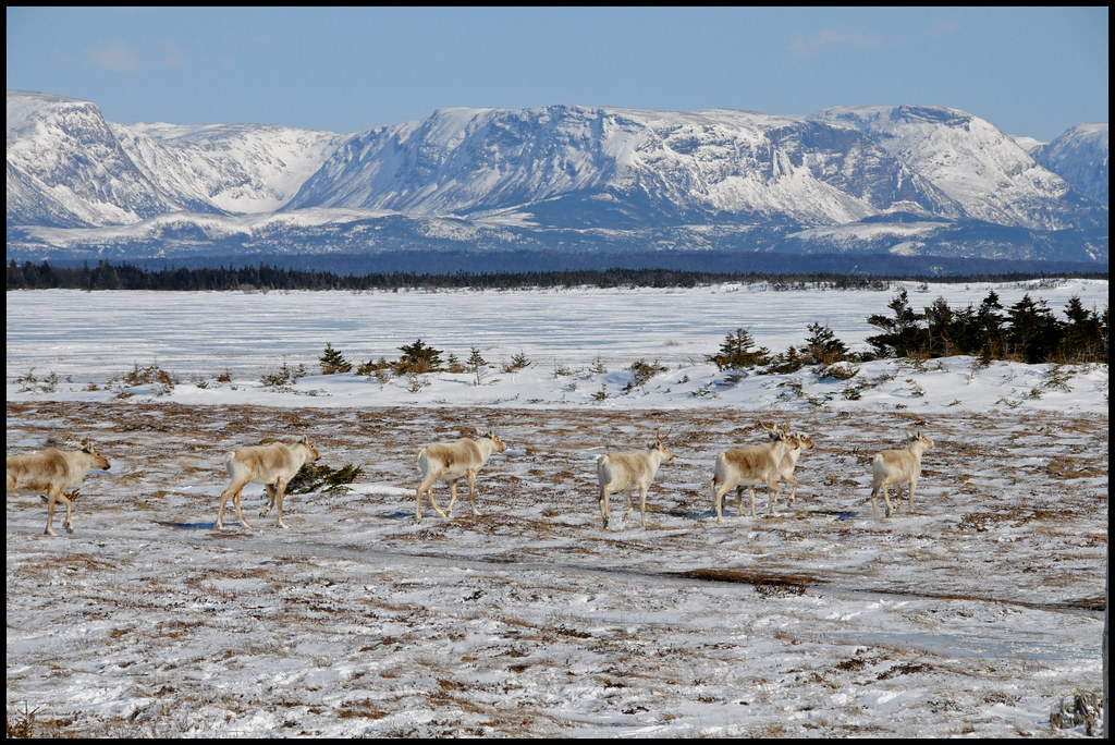 Caribou Along Route 430...The Viking Trail