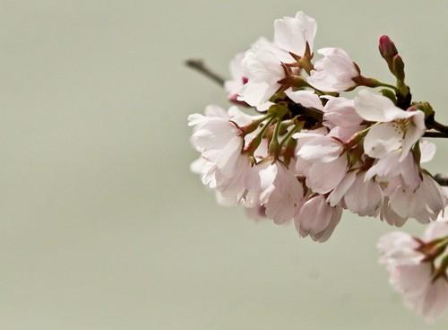 CherryBlossoms-9804.jpg