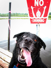 Breaking the Law! (Guruchik) Tags: dog tongue swimming wow mutt blackdog snickers mixedbreed possessed longtongue rulebreaking blueribbonwinner oneblueeye theloveshack thelittledoglaughed twodifferentcoloredeyes