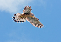Hunting Kestrel (graspnext) Tags: hunting kestrel hovering tinnunculus falco falcotinnunculus specanimal avianexcellence photofaceoffwinner secretlifeofbirds pfogold