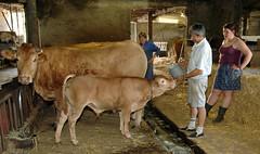 Good Milk (iveka19) Tags: france cute boot milk boots boobs flock straw stall lait feed calf stable limousine vache corrèze bottes milch paille kalb alimentar vitello establo mère caoutchouc veau troupeau herde étable ruralité bétail élevage veausouslamère sérilhac