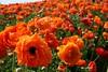 orange (dustinbing) Tags: flowers garden spring sandiego ranunculus carlsbad flowerfields