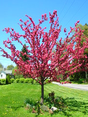 Cherry Tree (Bonghi Vestiti) Tags: pink tree cherry spring cheery pennsylvania