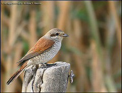 Red Backed Shrike (ibrahem N. ALNassar) Tags: bird birds n kuwait shrike redbacked alnassar golddragon anawesomeshot ibrahem aplusphoto