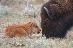 Big and Little (Hoot1) Tags: nature ilovenature nationalpark wildlife wyoming bison grandteton naturewatcher goldwildlife