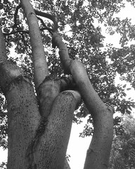 Trees in Grayscale (noises.voices) Tags: grayscale tress