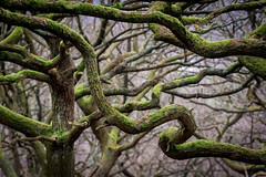 Tangled Oaks (Tim Allott) Tags: glossop peakdistrictnationalpark branches forest oak moss trunks woodland trees shirehill derbyshire pentaxk3 woods