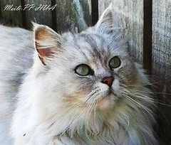 327. CAT: I Spy Yummy, Featherd Things! (www.YouTube.com/PhotographyPassions) Tags: cat whitecat feline purr furry animal cats whiskers greeneyes fauna kitten pet kittens longfur mlpphfauna pets