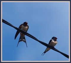 Mr & Mrs Swallow. (chromehorse) Tags: 1001nights natureworld flickraward natureislife holycreationsofnature