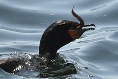 Slurp ... (dlv1) Tags: ocean fishing nikon eating hunting atlantic cormorant eel d90 capeneddick