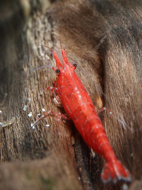 P6041016 玫瑰蝦