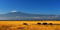 The Marathon (| HD |) Tags: africa wild mountain 20d kilimanjaro animal canon landscape mt kenya wildlife canon20d safari beast hd darwish hamad amboseli wildbeast hamaddarwish wwwhamaddarwishcom